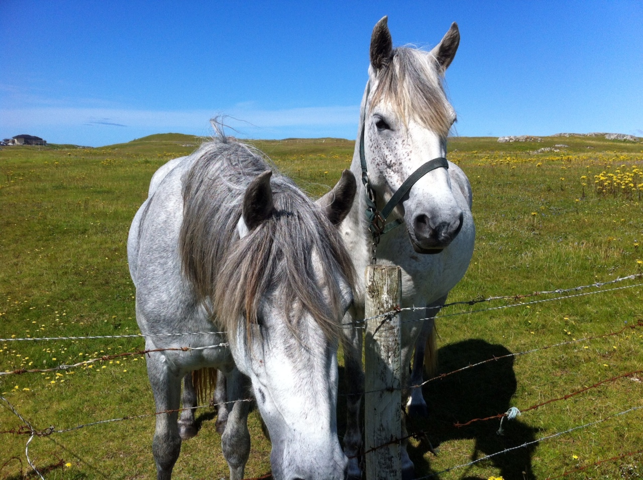 Connemara Ponies are famous!